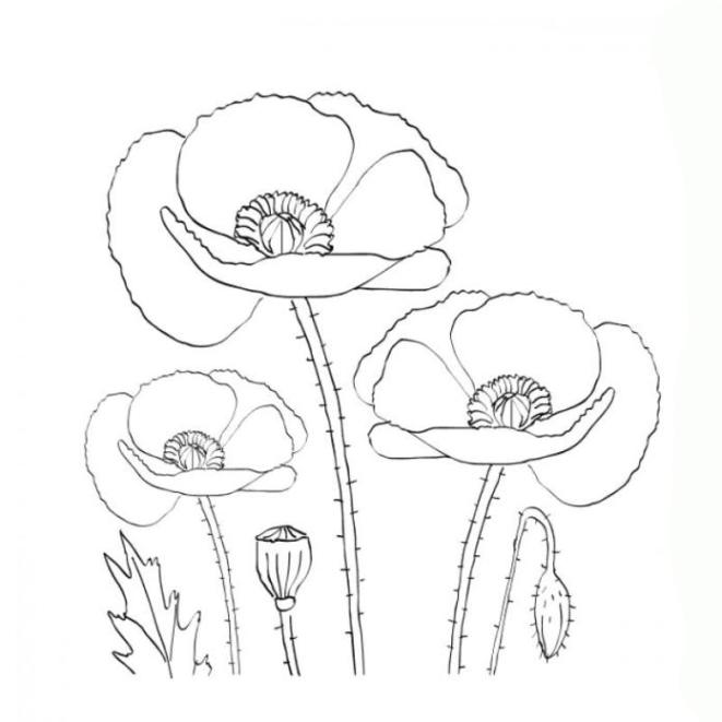 33 Mohnblumen Malen Vorlage Besten Bilder Von Ausmalbilder 7