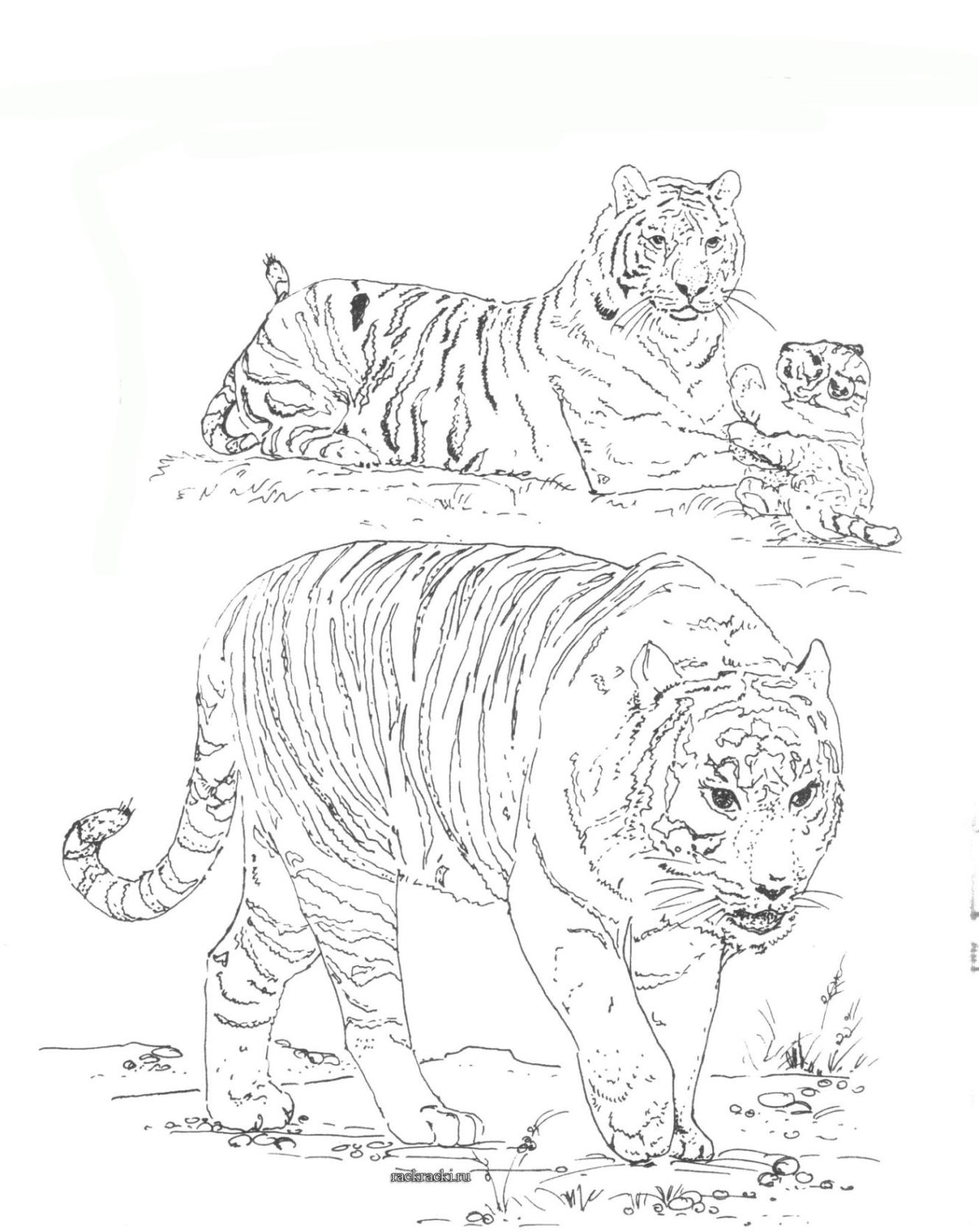 ausmalbilder zum drucken malvorlage tiger kostenlos 2